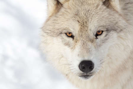 Close up on a artic wolf in winter.