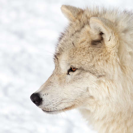 artic: Close up on a artic wolf in winter.
