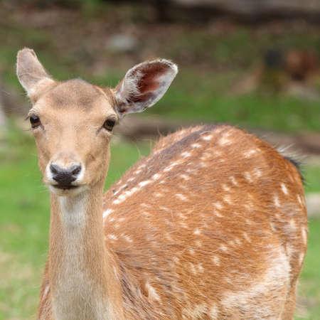 A fallow deer during the summer months. Imagens - 66492267