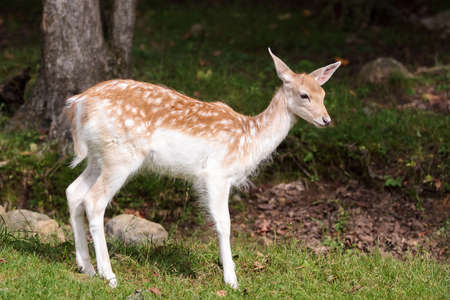 A juvenile fallow deer walking at the edge of the forest on sunny summer day. .