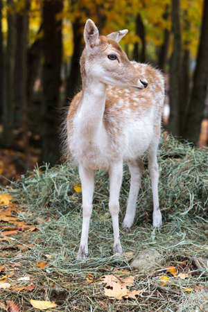 A fallow deer standing at the edge of the autumn forest.