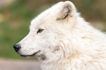 close up on the Canadian arctic wolf in the summer months. Imagens - 66323359
