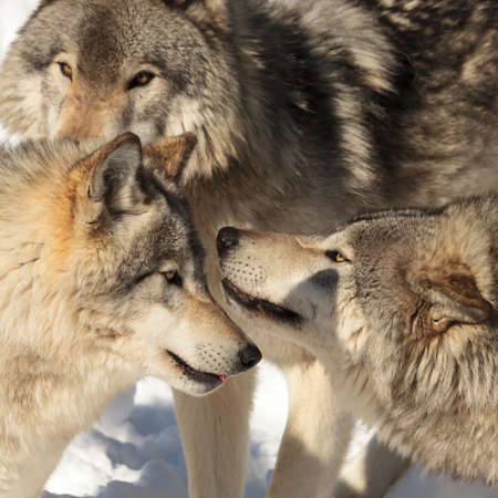 Face off between two timber wolves (grey wolf) on sunny winter day.