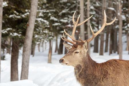 wapiti: A male wapiti (elk) shows its antlers in winter. Stock Photo