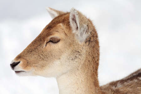 Close up view on a doe (female fallow deer) in winter.