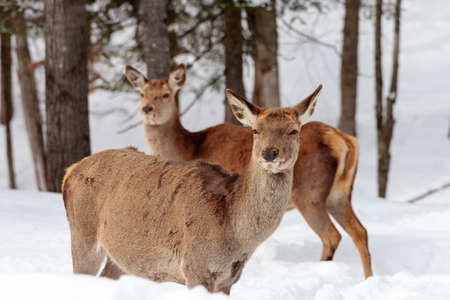 wapiti: two wapiti (elks) female in winter at the edge of the forest