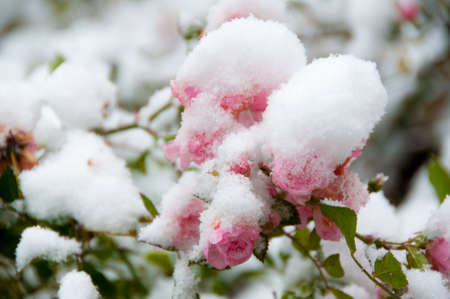 Rosen im Schnee Stock Photo