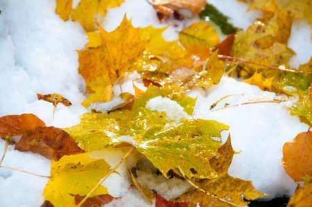 Herbstblaetter im Schnee Stock Photo - 16172924