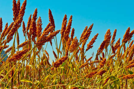 Sorghum field on a blue sky in autumn