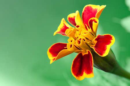 patula: Blooming French marigold closeup   Tagetes patula