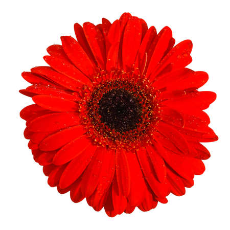 Red Gerbera flower with water drops, closeup isolated front view photo