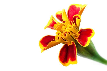 patula: Blooming French marigold closeup   Tagetes patula  isolated with copy space Stock Photo