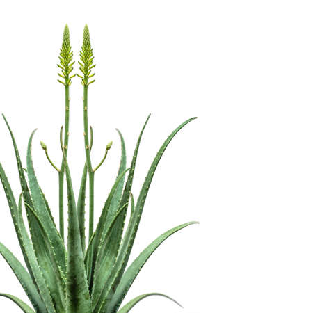 Mirroring Aloe Vera plant isolated on white background