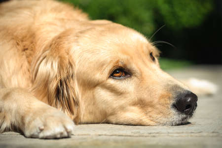 Adult Golden Retriever laying on the floor with sad look