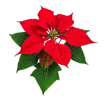 poinsettia: Christmas red poinsettia flower isolated on white background Stock Photo