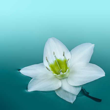 �ber Wasser: Nahaufnahme des wei�en Amazon Lilie Blume �ber Wasser in t�rkisfarbenem Wasser