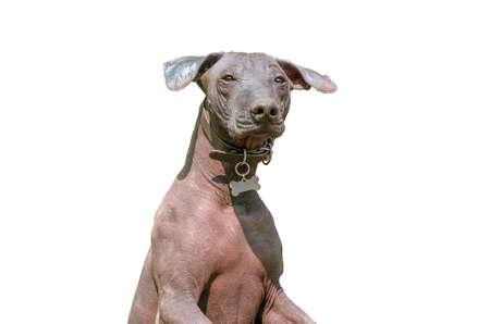 dog isolated: Xoloitzcuintle Mexican Hairless Dog or Xolo isolated on white Stock Photo