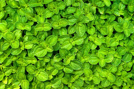 Mint plant wall background vegetable garden, Kitchen Mint, Marsh Mint Stock Photo
