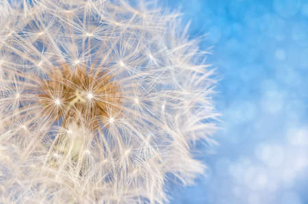 Dandelion flower with seeds ball close up in blue bright bokeh background Фото со стока