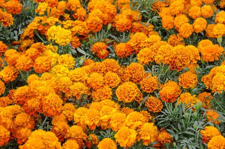 Cempasuchil Blume. Tagetes erecta, mexikanische Blume des Tages der Toten. Standard-Bild - 83779271