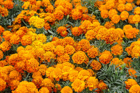 Cempasuchil flower. Tagetes Erecta, Mexican flower of the day of the dead.
