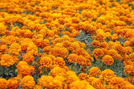 Cempasuchil bloem. Tagetes Erecta, Mexicaanse bloem van de dag van de doden. Stockfoto