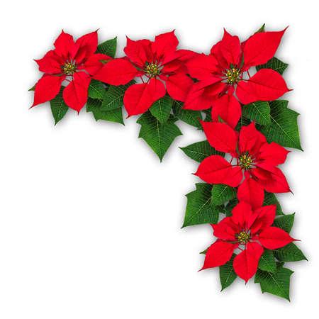 Red Poinsettia flower decoration, Euphorbia pulcherrima, christmas ornament Stock Photo