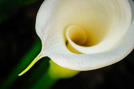 White Calla Lily flower closeup, Zantedeschia Aethiopica