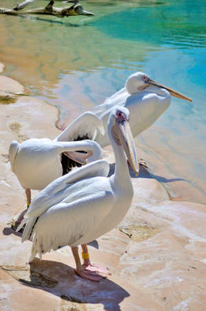 Group of Great White Pelicans in the Zoo (Pelicans Onocrotalus) Stok Fotoğraf