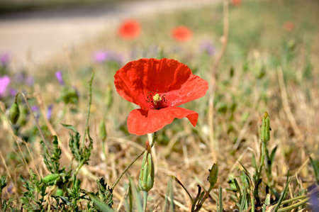 Wild Poppy Flower (Papaver somniferum) grows wild in eastern and southern Asia, and South Eastern Europe.