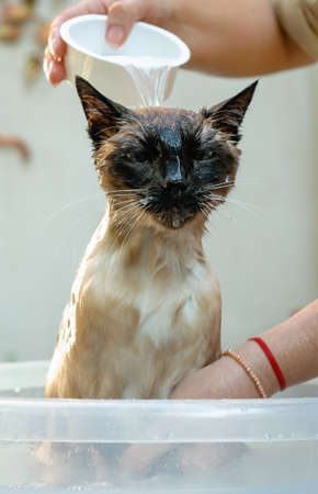 Siamese cat soaked when bathed in a bucket