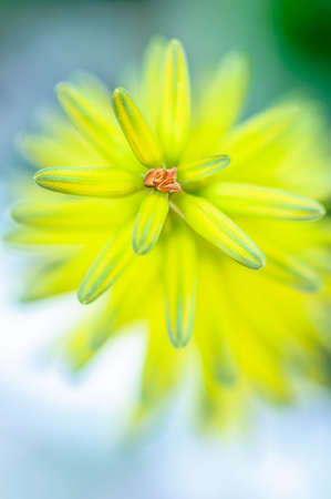 Closeup of a yellow aloe vera flower