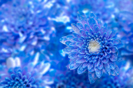 Beautiful blue chrysanthemum flower, closeup Фото со стока