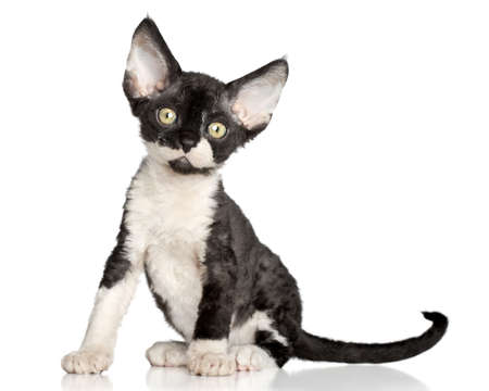 devon: Devon Rex kitten  Close-up portrait on a white  Stock Photo