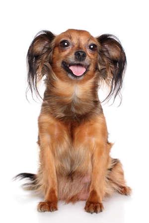 toy terrier: Russian toy terrier a pelo lungo Archivio Fotografico