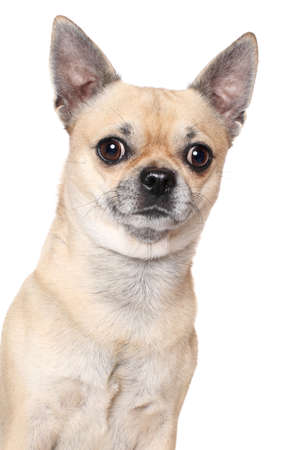 chihuahua dog: Chihuahua dog portrait, isolated on white
