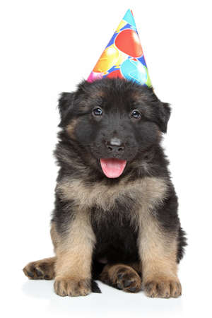 german shepherd puppy: German shepherd puppy in party cone posing on a white  Stock Photo