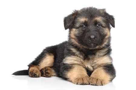 pastorcillo: Cachorro de pastor alemán presenta en un blanco