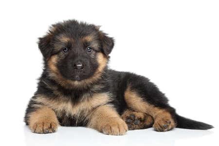 독일 셰퍼드 강아지 2 개월 흰색 배경에