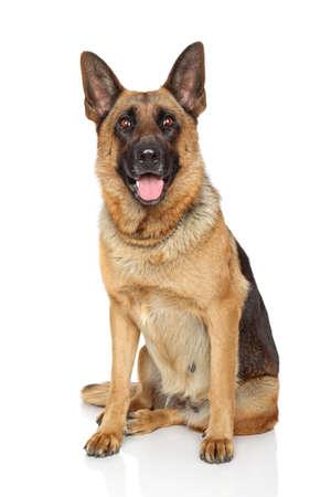 ジャーマン ・ シェパード犬は、白い背景の上に座っています。 写真素材