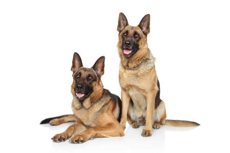 german shepherd dog: German Shepherd dogs posing on white