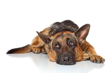 슬픈 독일 셰퍼드 개가 흰색에 누워