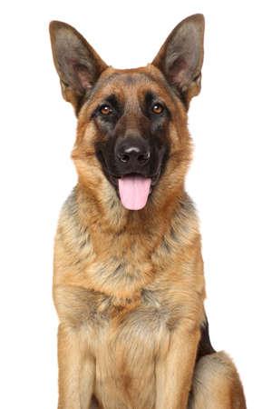 pastorcillo: Perro pastor alemán Retrato en blanco