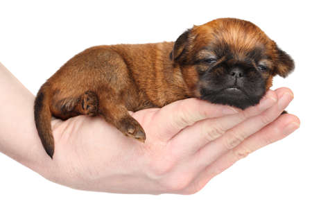griffon bruxellois: Griffon puppy lying in hand on a white background Stock Photo