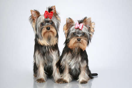 Two Yorkshire terrier puppies sits on grey background photo