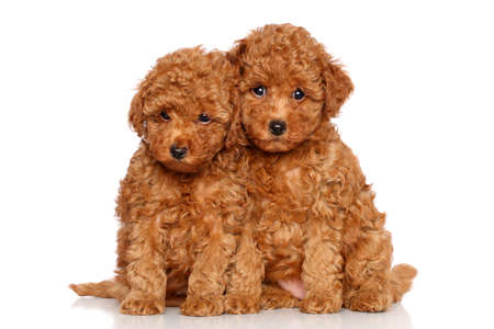 Cachorros caniche. Retrato sobre un fondo blanco