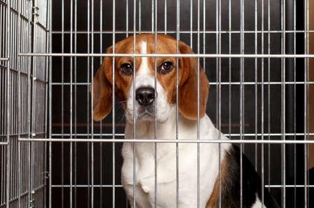 슬픈 비글 강아지는 새장에 갇혀 앉아 스톡 콘텐츠