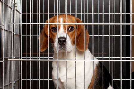 Sad Beagle dog sits locked in a cage
