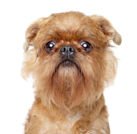 griffon bruxellois: Griffon dog. Close-up portrait on a white background