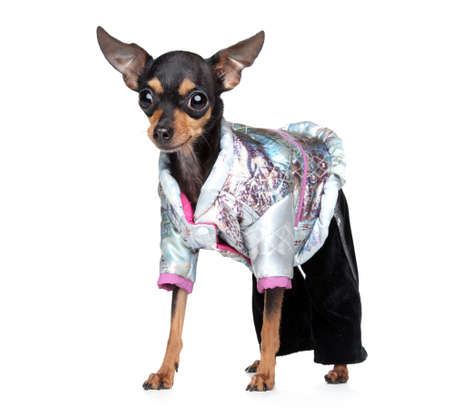 toyterrier: Russian toy terrier in fashionable overalls on a white background
